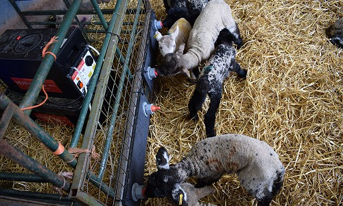 Heatwave Set up for Lambs