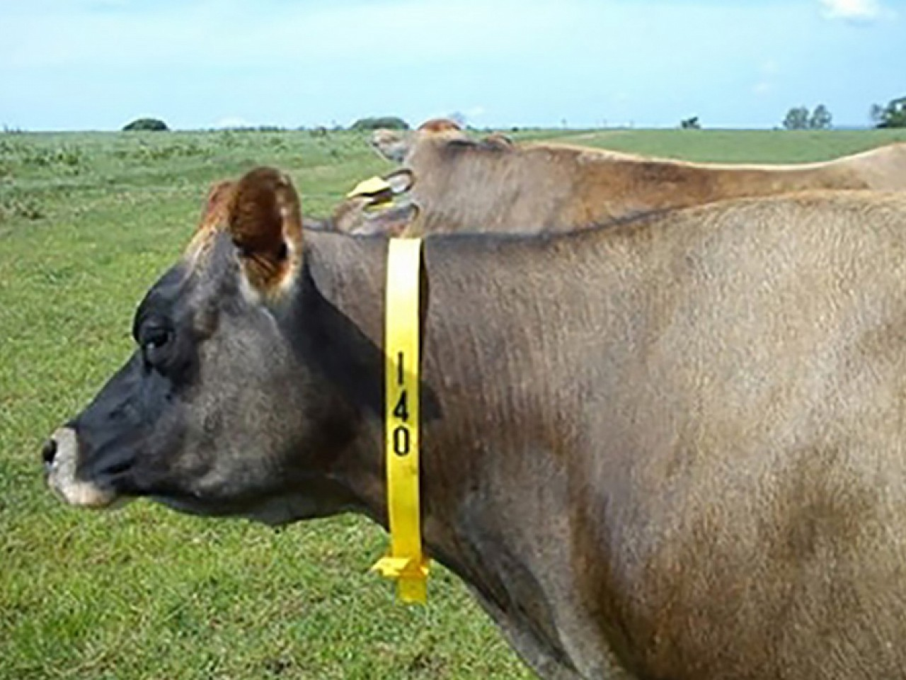Cow and Calf Collars