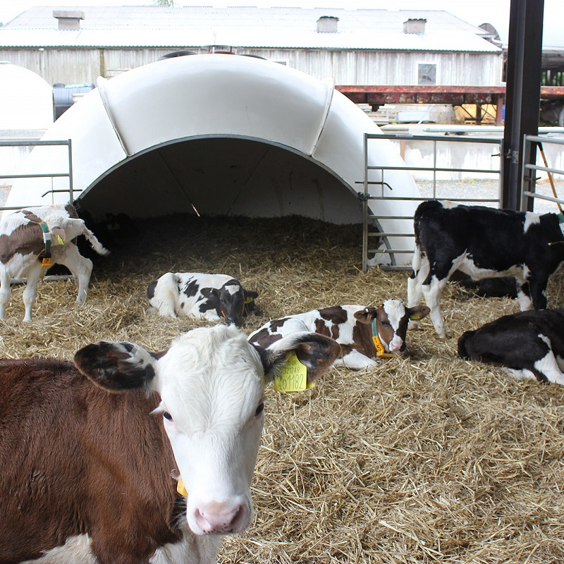 Calf Nutrition & Accelerated Feeding - Frequently asked questions and misconceptions